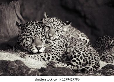 Jaguar (Panthera onca) wild cat animal photos
