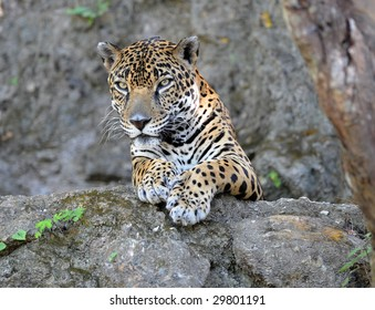 jaguar or panthera onca , wildlife preserve, guatemala , latin america, big cat