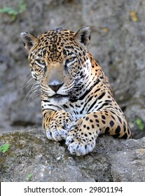 jaguar or panthera onca, wildlife reserve, Guatemala , latin america, exotic big cat predator carnivore like leopard in tropical jungle rainforest