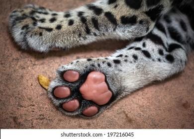 Jaguar paw.