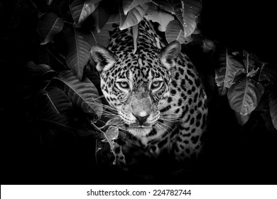 Black Jaguar Face Images Stock Photos Vectors Shutterstock