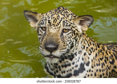 Jaguar portrait