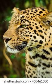 Jaguar portrait left