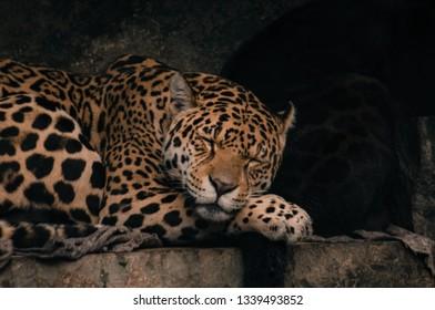 Jaguar portrait on dark background. Big cat lying image - Panthera onca
