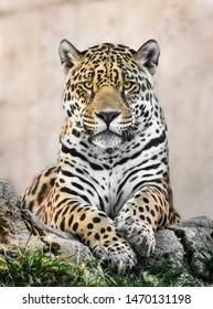Jaguar portrait staring at something