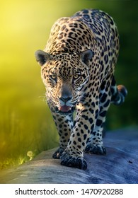 Jaguar preparing for the hunt