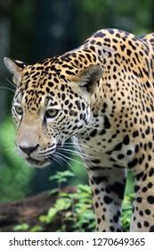 Jaguar in Rainforest
