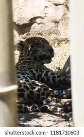 jaguar resting in the enclosure