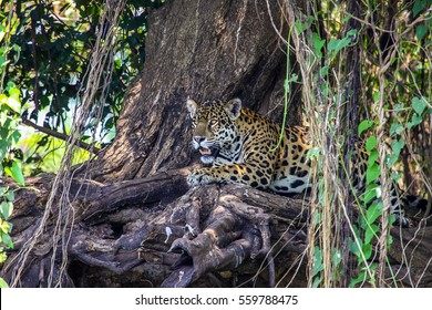 Jaguar resting in the shadow, Pantanal, Brazil