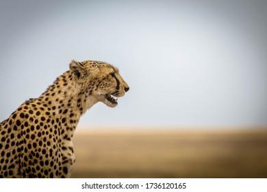 Jaguar in Serengeti National Park Tanzania, july 2017