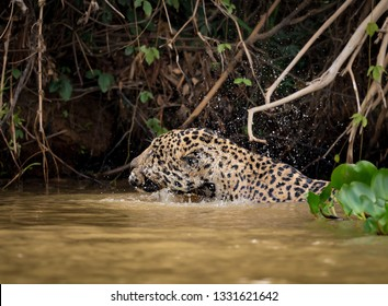 Jaguar shakes water off his head while swimming in river