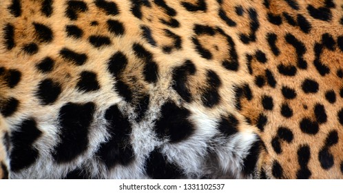 Jaguar skin is a big cat, a feline in the Panthera genus only extant Panthera species native to the Americas. Jaguar is the 3 largest feline after the tiger and lion, and the largest in the Americas.