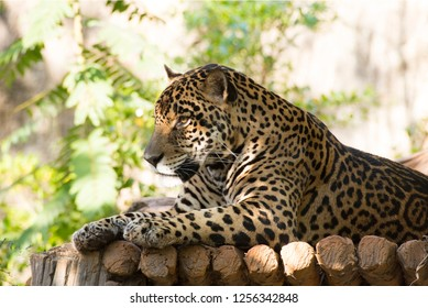A Jaguar, sleep, relaxes on a timber.