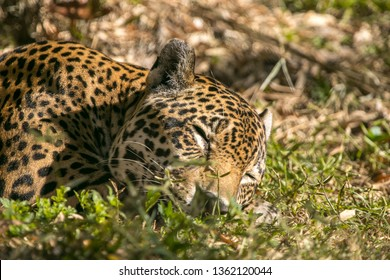 Jaguar sleeping in the grass