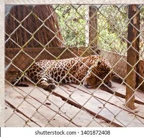 Jaguar sleeping in a jail