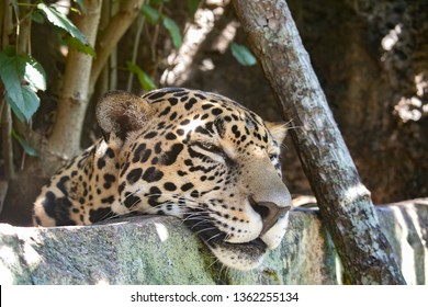 Jaguar sleeping on wall