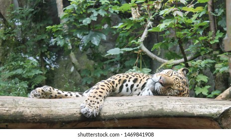Jaguar taking a nap and sleeping on a branch