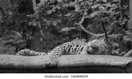 Jaguar taking a nap sleeping on a branch