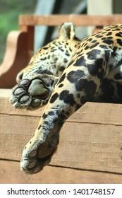 Jaguar taking a nap in the sun