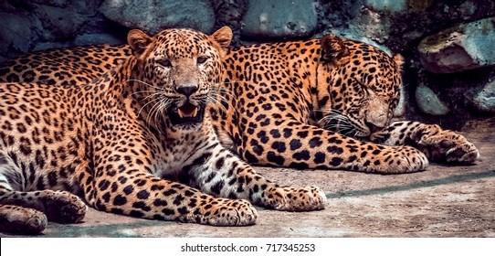 Jaguar. Jaguar taking rest. Jaguar in focus.