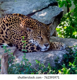 Jaguar Taking Shade From Hot Tropical Sun in Mexico