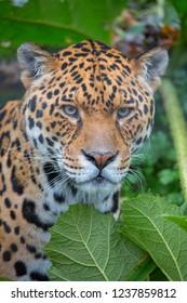 Jaguar in the undergrowth