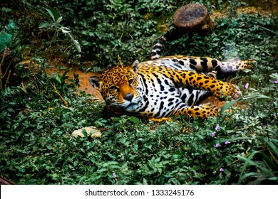 Jaguar waking up in the forest