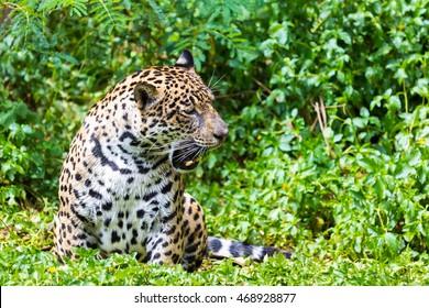Jaguar wet ride in the woods.