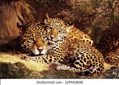 Jaguar wild cat animal Stock Images