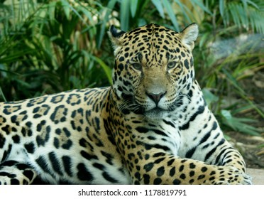 The jaguar is a wild cat species and the only extant member of the genus Panthera native to the Americas. The jaguar's present range extends from Southwestern United States and Mexico in North America