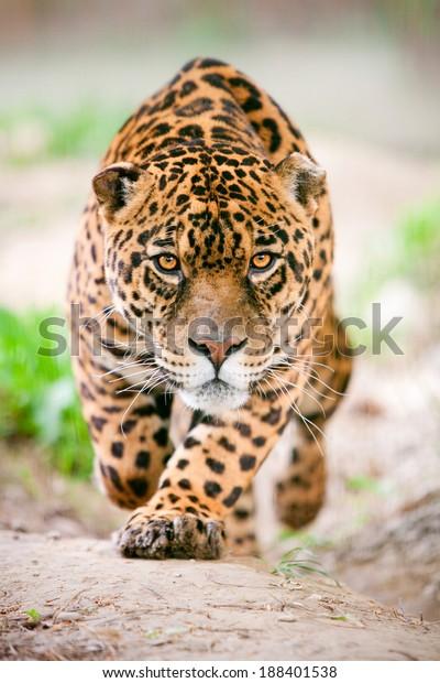 jaguar wildlife leopard animal stalking hunt ferocious ecuador attack front angry deadly wild jaguar running toward the camera with his ferocious look pointing the photographer jaguar wildlife leopard