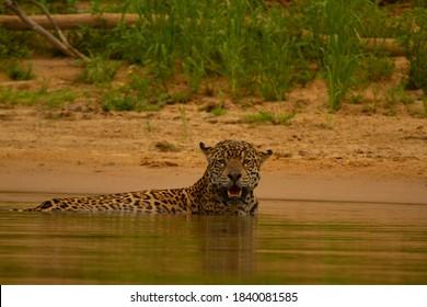The Jaguars of Brazilian Pantanal