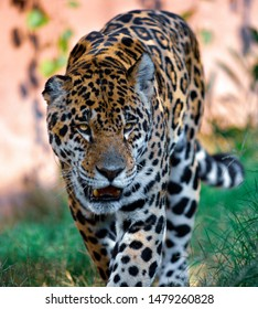 jaguars on the prowl male and female panthers