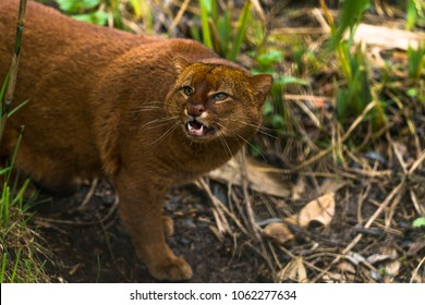 Jaguarundi (Puma yagouaroundi),  or eyra is a small wild cat native to southern North America and South America.