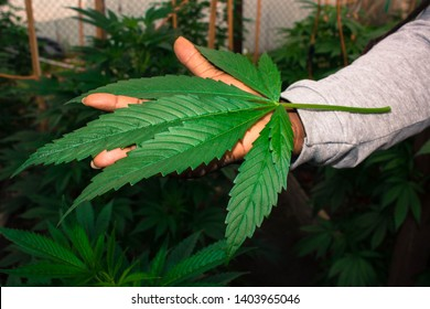 Jah Works Medical Cannabis Plants Herbs  the Healing of the Nations.