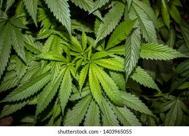 Marijuana Images, Stock Photos & Vectors | Shutterstock