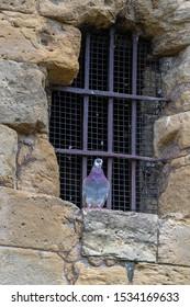 Jail Bird Wild Pigeon Sitting Against a Prison Window