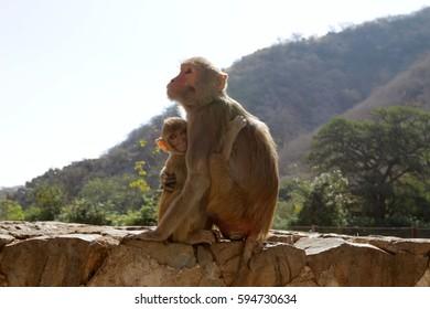 Jaipur - the ancient city of palaces and treacherous monkeys, India