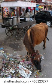 JAIPUR, INDIA - FEBRUARY 24, 2006: Cow looking for food in the garbage of a street in Jaipur