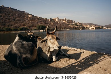 JAIPUR, INDIA - JANUARY 10, 2015: Cows on Amer Fort on January 10, 2015 in Jaipur, India