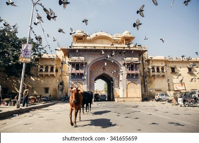 JAIPUR, INDIA - JANUARY 10, 2015: Cows and birds on street on January 10, 2015 in Jaipur, India