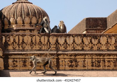 JAIPUR, INDIA - MARCH 08, 2006: Monkeys that walk across the rooftops of the Nahargarh fort on the outskirts of Jaipur