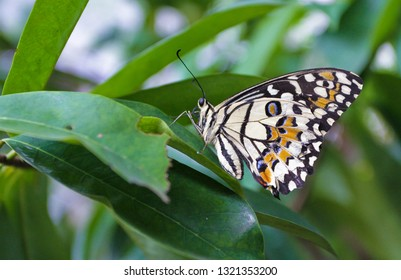 Jakarta, Indonesia - February 24, 2019 : The color of the wing of Lime Butterfly (Papilio demoleus) is one type of swallowtail butterfly whose spread very wide in the world.