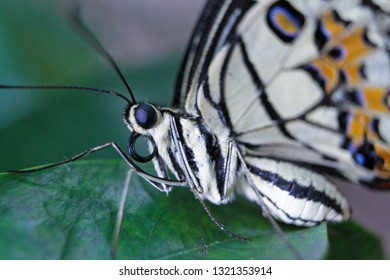 Jakarta, Indonesia - February 24, 2019 : Lime Butterfly's black eye (Papilio demoleus) is a type of swallowtail butterfly that has a very wide spread in the world.