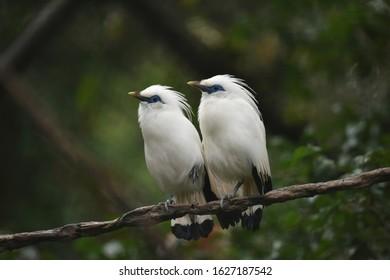 Jalak Bali Images Stock Photos Vectors Shutterstock