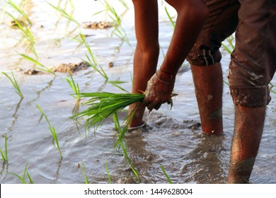 Jalandhar, Haryana, India, June 27, 2019: Farmers are planting paddy on field. Rice crops can be either direct seeded or transplanted. In transplanting, seedlings are first raised in seedbeds.