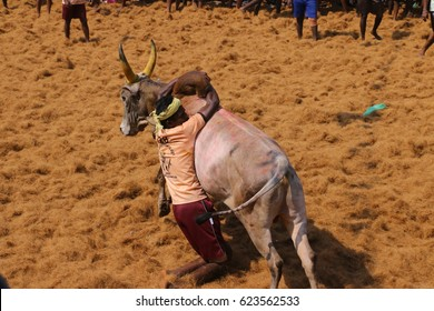 Jallikattu 2017  FEBRUARY 09, 2017 event at  in Tamil Nadu Bull tamers are trying to tame the bulls in the Jallikattu which held at in Madurai