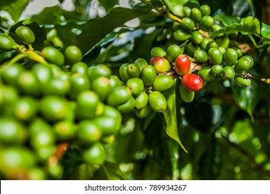 jamaica coffee beans from blue mountains green