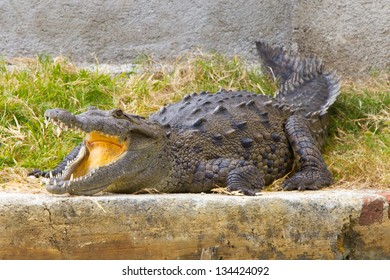 Jamaica Crocodile on the shore of the Black River with mouth open