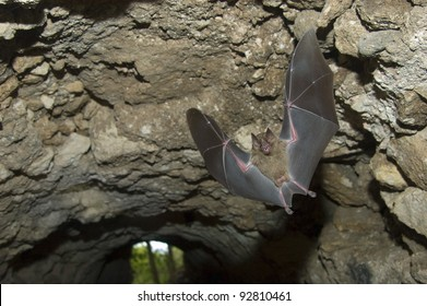 Jamaican (or Mexican) Fruit Bat, (Artibeus jamaicensis) flying in a tunnel under a Maya ruin in Tikal National Park, Guatemala